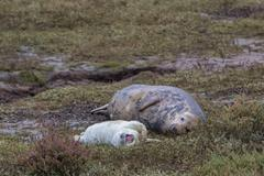 Grey Seal Cow and Pup - stock photo
