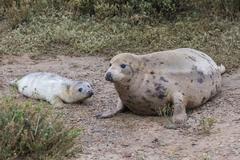 Stock Photo of Grey Seal Cow and Pup