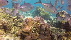 School of Jacks and Whitetip Shark Swimming in Sipadan, Sabah, Malaysia Stock Footage