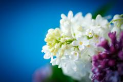 Bouquet of beautiful purple lilac Stock Photos