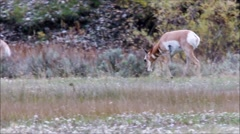 Antelope in Field Stock Footage
