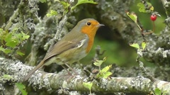 European Robin moving around on a branch Stock Footage