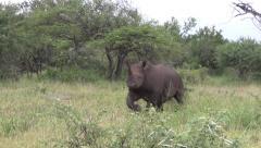 Black Rhino mock charge Stock Footage