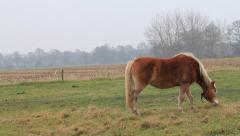 Horse, blond Haflinger on a meadow Stock Footage