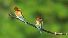 Birds Bee-eaters performing nesting games and hunting insects Stock Footage
