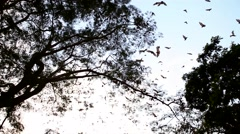 African Bats Stock Footage