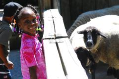 Little Girl with Black-Faced Sheep - stock photo