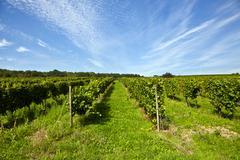Beautiful rapes in the vineyard Stock Photos