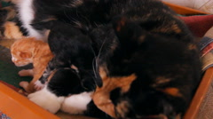 The mother cat feeding kittens, family Stock Footage