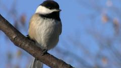 Black Capped Chickadee 2 Stock Footage
