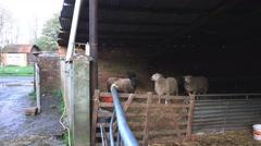 Farming livestock breeding rams sheep in an old barn Stock Footage