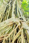 large roots. - stock photo