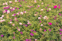 Common purslane, portulaca, rosemoss in vintage tone Stock Photos