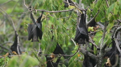Australian Fruit Bats Stock Footage