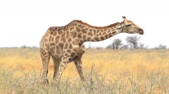Giraffa camelopardalis grazing Etosha national Park Stock Footage