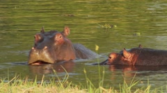 Two fighting young male hippopotamus Hippopotamus Stock Footage