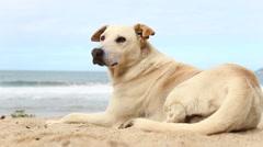 A dog in the beach - Rio de Janeiro, Brazil. Stock Footage