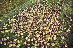 Stock Photo of windfall fruits on the meadow at a fruit farm