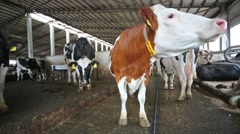 Cows in the hangar with metal floor on a dairy farm. Stock Footage