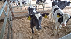 Black and white spotted calves are looking to the camera. Stock Footage