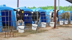 Spotted calves are standing in paddock on a dairy farm. Stock Footage
