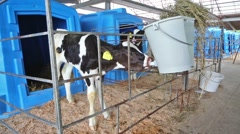 Young calf on a dairy farm is drinking water from bowls. Stock Footage