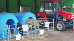 Calf drink water from a drinking bowls on dairy farm. Stock Footage