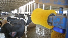 Yellow brush is rolling in stall on the dairy farm. Stock Footage