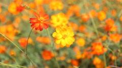 Close up orange Cosmos flowers Stock Footage