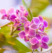 Stock Photo of pink orchid phalaenopsis  against tropical greens