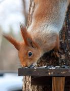 Eurasian red squirrel gnaws sunflower seeds - stock photo