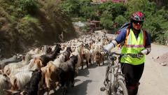 Female cyclist making way through flock of sheeps Stock Footage