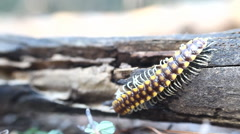 Insect move centipede macro tropical bug Stock Footage