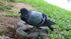 Close up pigeon watching Stock Footage