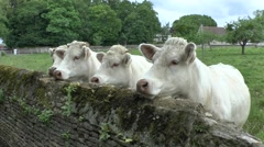 Four cows (with audio) standing by a wall waiting to be fed, Normandy, France. Stock Footage