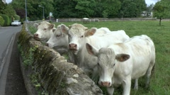 Four white cows in Normandy, France. Stock Footage