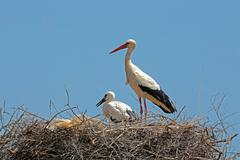 White stork with  young baby stork on the nest Stock Photos