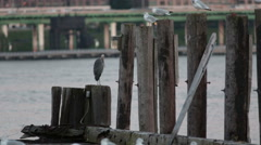 Great blue heron (Ardea herodias) Stock Footage