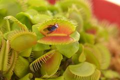 Venus flytrap eats a fly Stock Photos