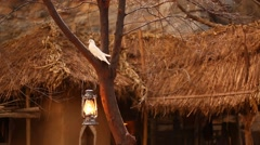 white Pigeon on the tree at rural area - stock footage