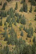 Spruce trees on a mountainside Stock Photos