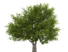 crack willow tree isolated on white background - stock illustration