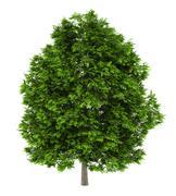 european ash tree isolated on white background - stock illustration