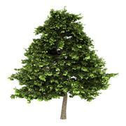 Grey alder tree isolated on white background Stock Illustration