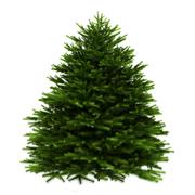 momi fir tree isolated on white background - stock illustration