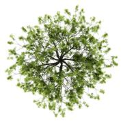 Top view of willow tree isolated on white background Stock Illustration