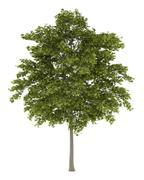 White ash tree isolated on white background Stock Illustration