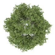 Top view of silver birch tree isolated on white background Stock Illustration