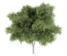 Stock Illustration of silver birch tree isolated on white background