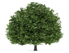 horse chestnut tree isolated on white background - stock illustration